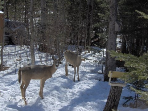 Deer - winter feeding