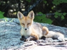 Very relaxed fox